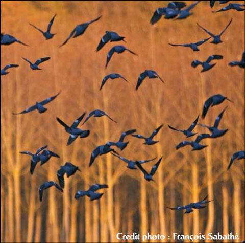 bando de paloma torcaces