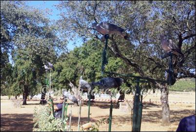 exhibicion de cimbeles de paloma torcaz en puebla de obando